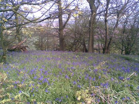 Beacon banks bluebells 30 april 12